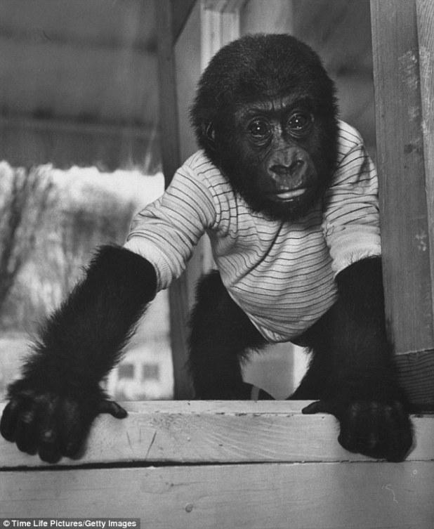 colo ohio gorilla longevità pomodoro solenacee