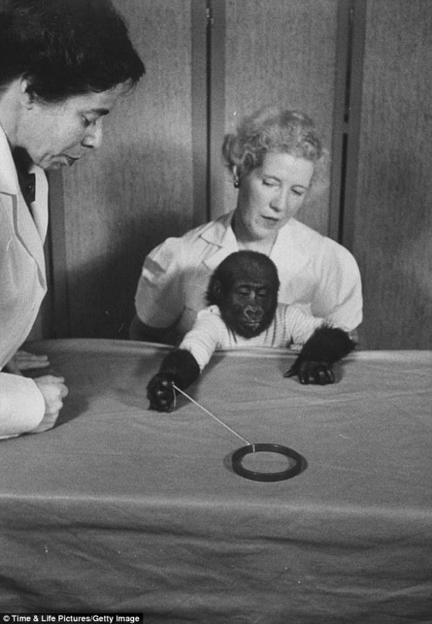 colo gorilla test intelligenza attitudinale psicologico pomodoro longevità