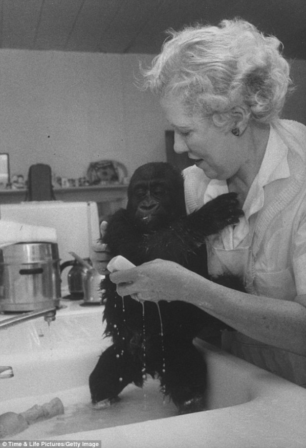 Colo bagno lavato gorilla longevità pomodoro solenacee primate primato