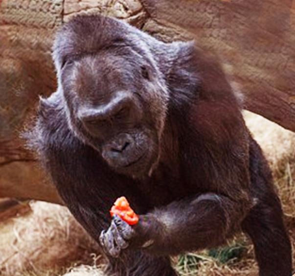 gorilla pomodoro colo longevità solenacee