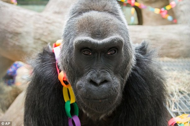 colo gorilla longevo longevità pomodoro solenacee