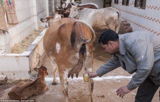 Raccolta dell'urina di mucca